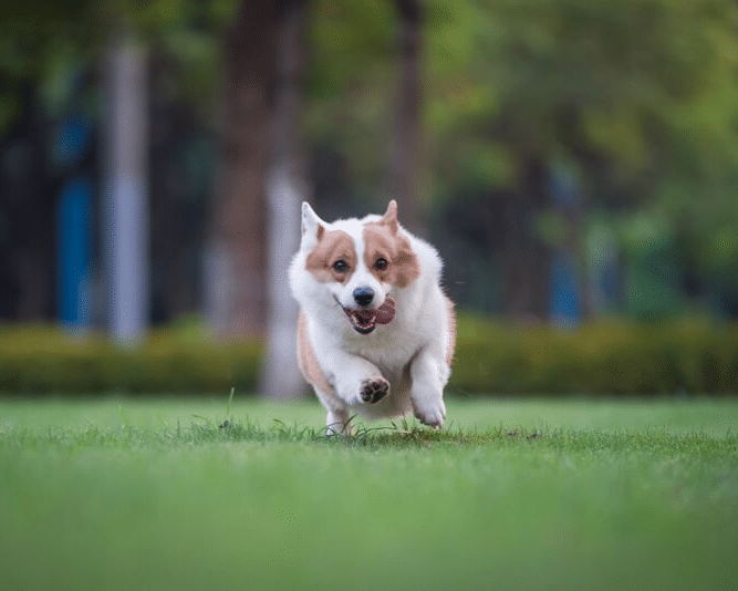 Running dog showing his tongue