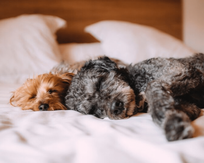 Two dogs laying in bed on white sheets